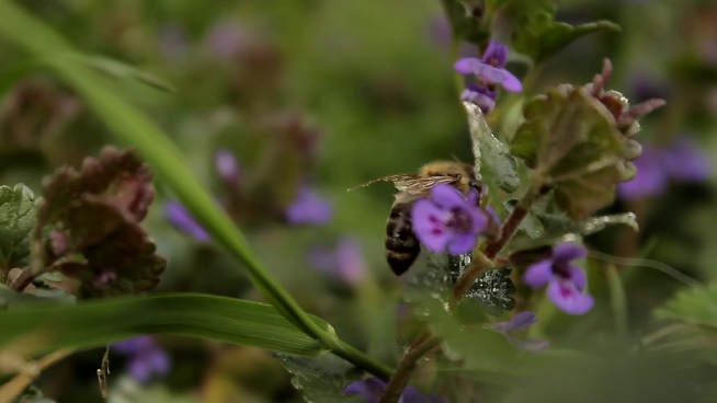 closeup of honeybee flying on violet flowers