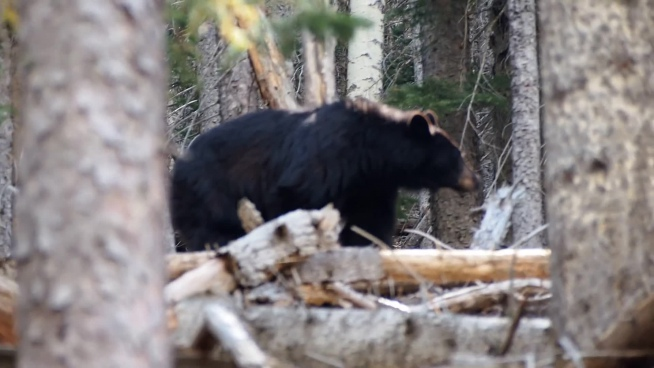 big black wild bear in forest