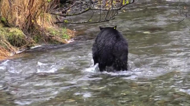 wild black bear catching fish on stream