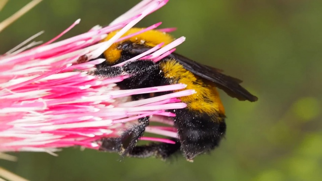 closeup of bumble bee on flower