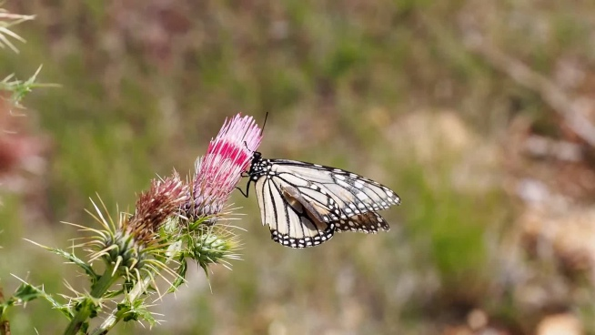 closeup of fragile butterfly on wild flower