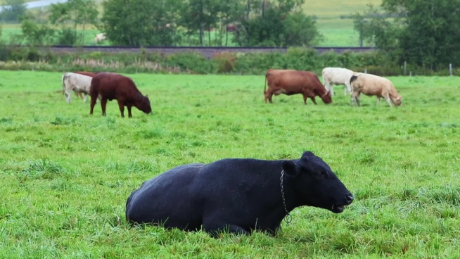 cow cattles grazing on green meadow