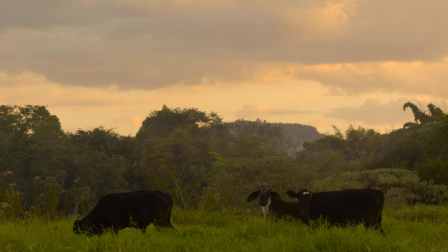 black cows grazing on meadow in countryside