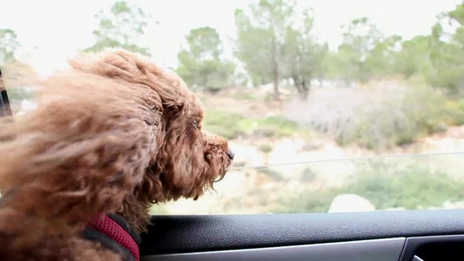 cute hairy dog having sight seeing from car