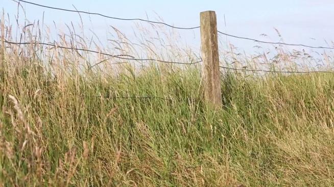 wild grass swinging in breeze
