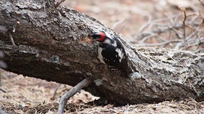 wild woodpecker looking for food on timber