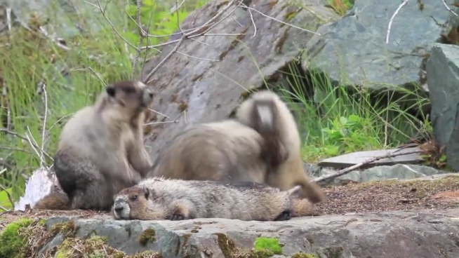 cute wild marmots playing in nature