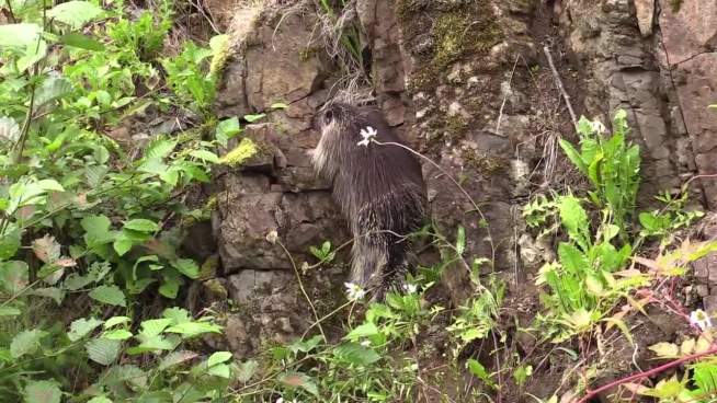 wild porcupine climbing on rocky wall