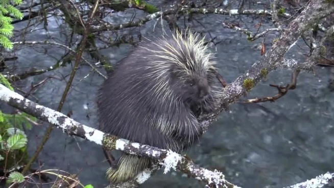 wild porcupine climbing on tree in nature