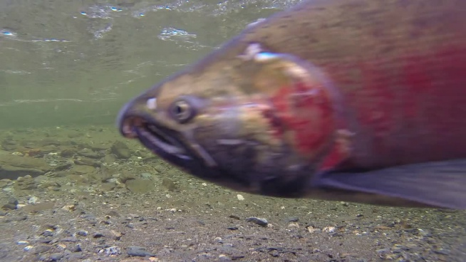 clip of wild salmon swimming under stream