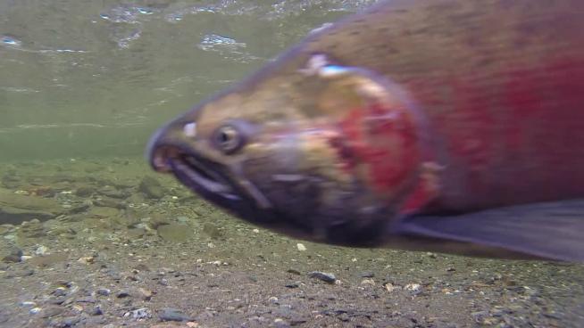 clip of wild salmon swimming under stream