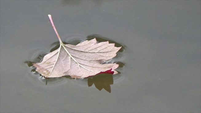 closeup of fallen leaf floating on water surface