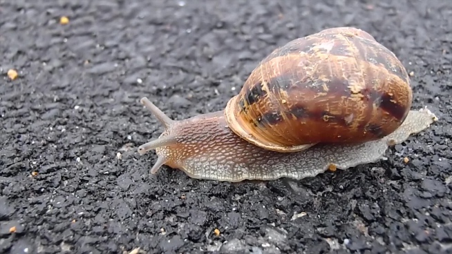 wild snail slowly crawling on ground