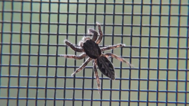 closeup of hairy spider crawling on mesh