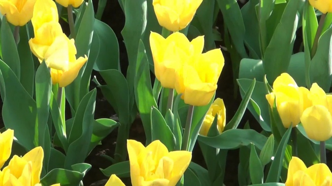 closeup of blooming yellow tulips flowers