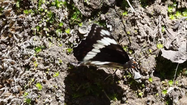 wild butterfly flapping wings on ground