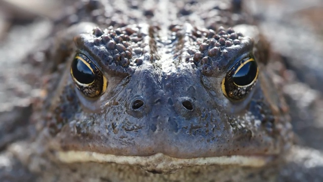 closeup of wild brown toad