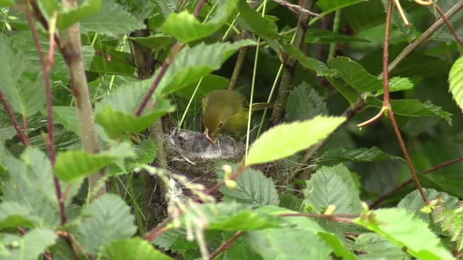 cute wild bird feeding chicks on nest