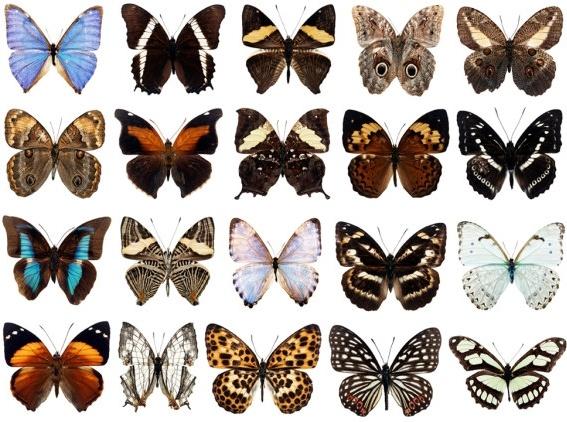 100 species of butterflies psd layered highdefinition 3