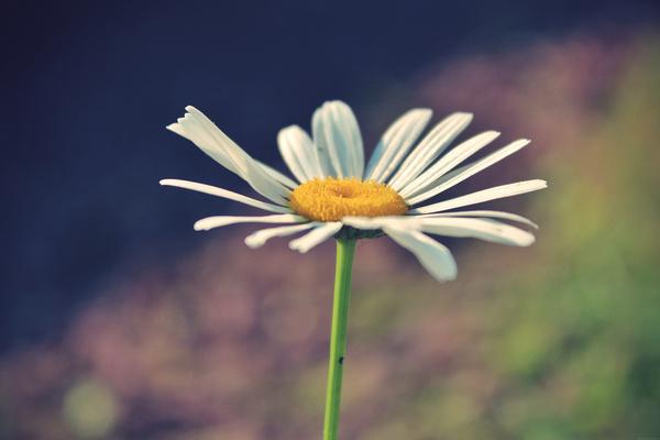 249365 daisy