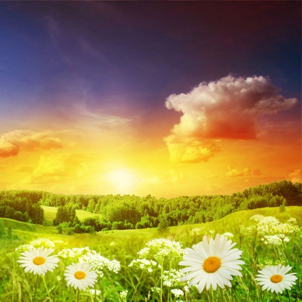 4 highdefinition pictures of the wild chrysanthemum under the sun