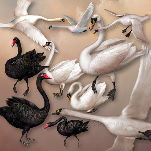 a beautiful swan psd
