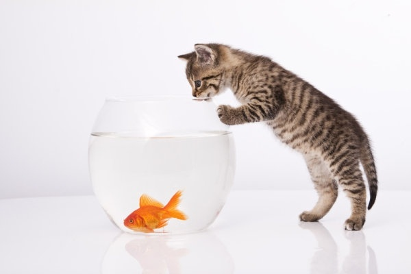 a cat and a goldfish 04 hd pictures