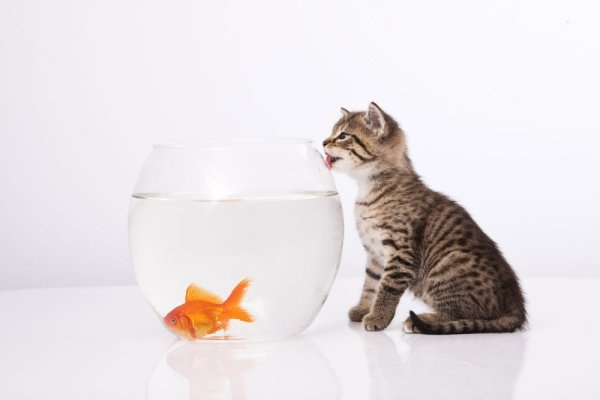 a cat and a goldfish 05 hd pictures