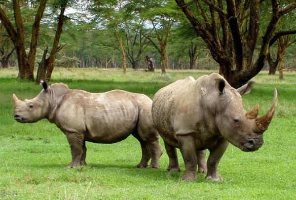 africa white rhinos rhino