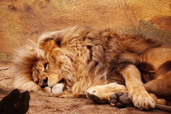 african animal big