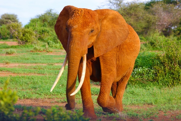 African Elephant Animal Countryside Cow Elephant Free Stock