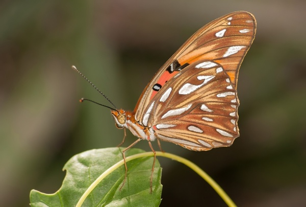 agraulis vanillae butterfly insect
