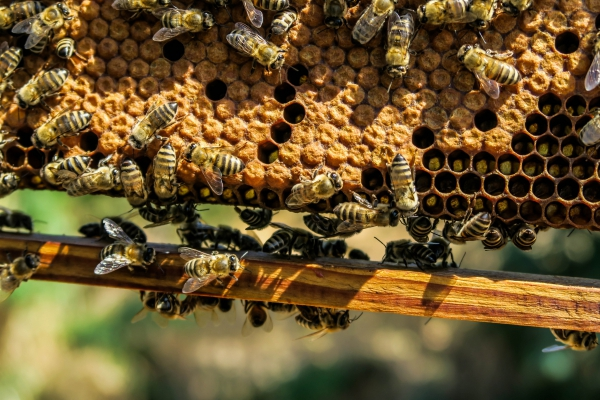 closeup of crowded honey bees comb