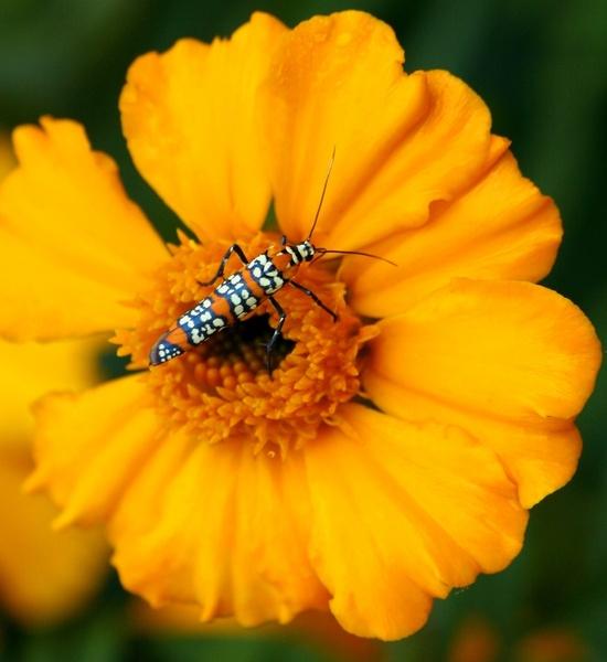 ailanthus webworm moth atteva aurea moth