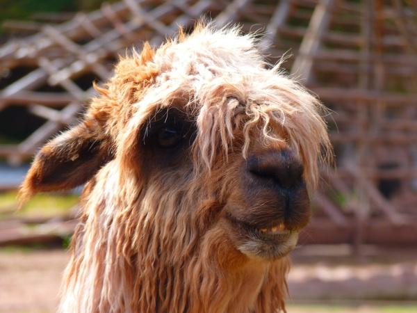 alpaca lama animal