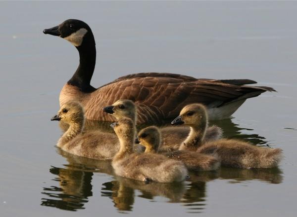 anchorage alaska ducks