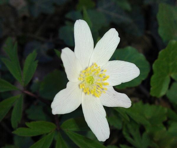 anemone nemorosa wild flower forest