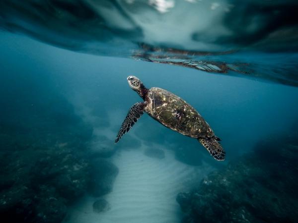 closeup of tortoise swimming under sea