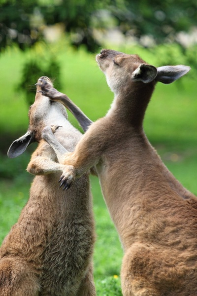 animal attack australian