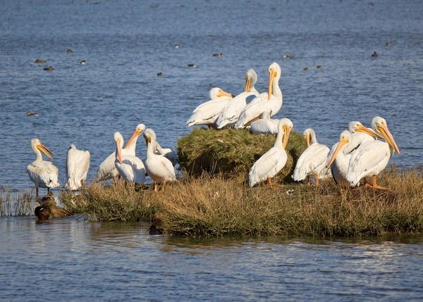 animal avian bird delta flight flock goose lake