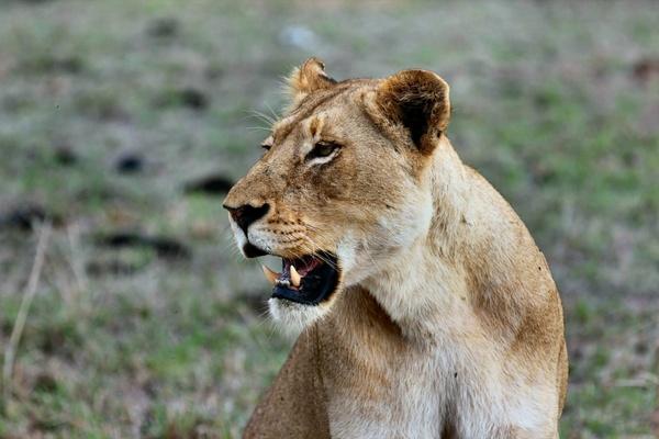 animal big cat carnivore cat danger feline fur