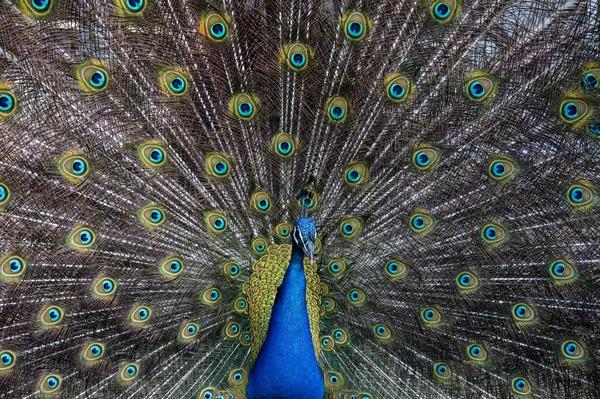 animal bird circle cockerel color colour exhibition