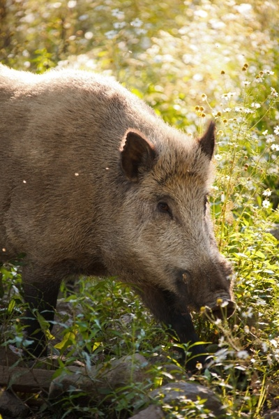 animal boar brown