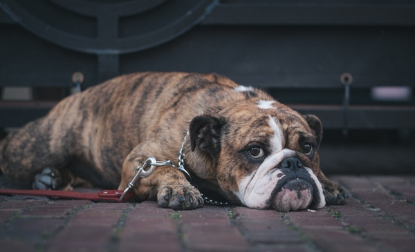 animal boxer breed bulldog canine cute dog domestic