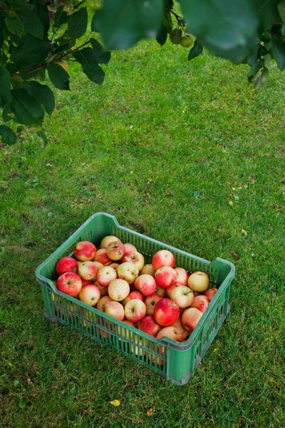 apples in box on grass