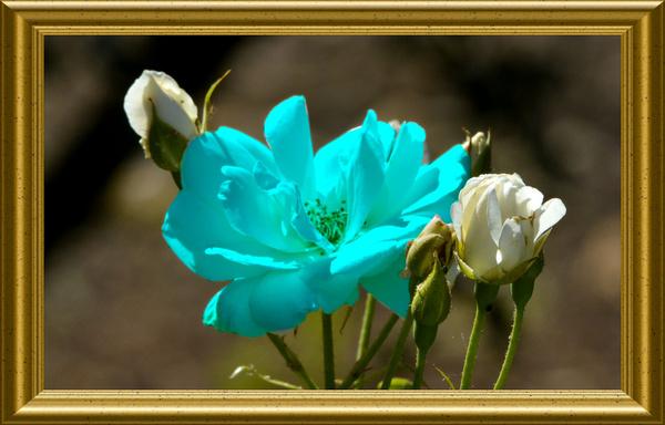 aqua blue rose