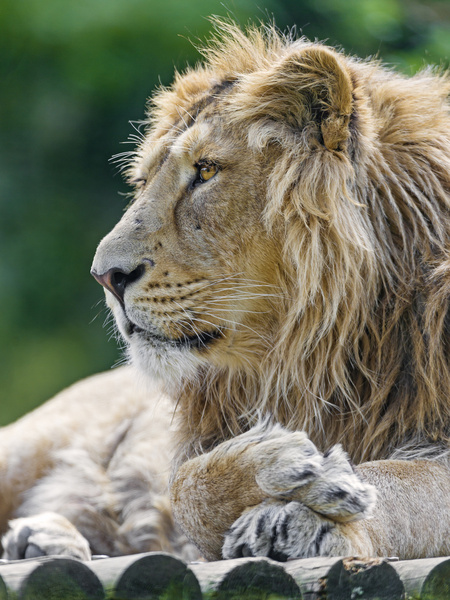 asiatic lion profile