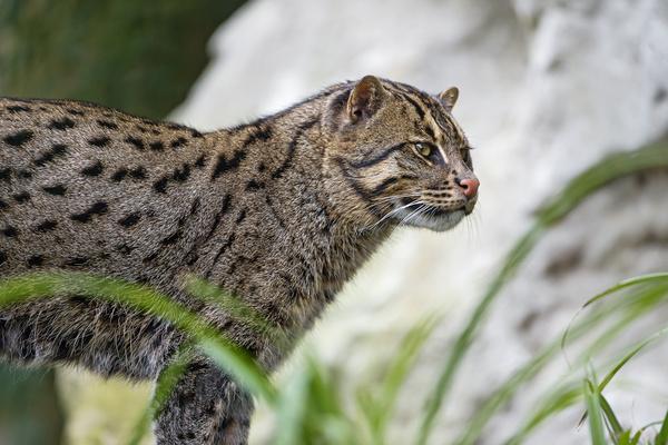 attentive fishing cat