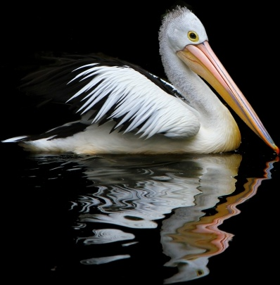 australia pelican sea birds