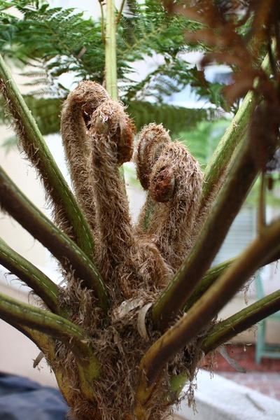 australian tree fern frond buds